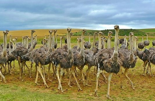 profitable ostrich farming business plan