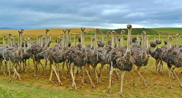 How to Start Ostrich Farming in Nigeria