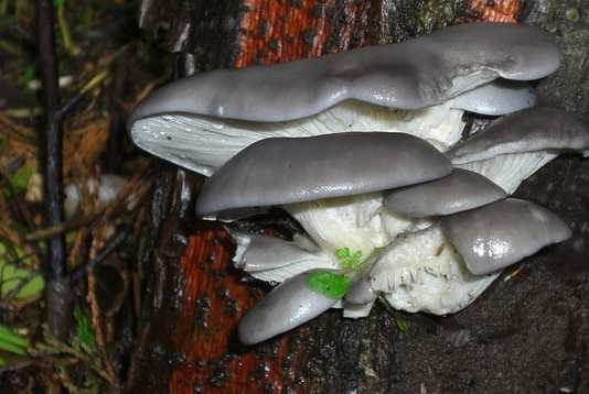 Oyster Mushroom Farming - Profitable Business Plan