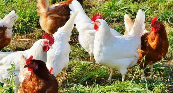 Starting Poultry Farming For Meat & Eggs Production – Profitable Business Plan